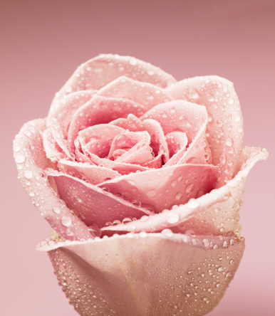 Single Flower「Close up of dew droplets on pink rose」:スマホ壁紙(2)