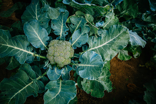 St「Close up of broccoli growing in garden」:スマホ壁紙(19)