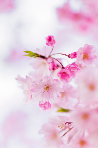 Cherry Blossom「Close Up of Pink Cherry Blossom With Copy Space」:スマホ壁紙(12)