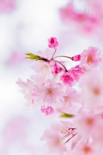 桜「Close Up of Pink Cherry Blossom With Copy Space」:スマホ壁紙(3)