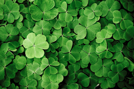 Irish Culture「Close up of a bunch of green clover」:スマホ壁紙(3)