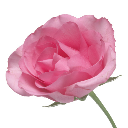 薔薇「Close up of a rose」:スマホ壁紙(2)