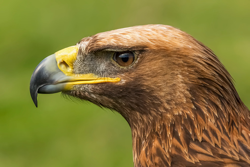 Battle「Close up of a golden eagle (Aquila chrysaetos) head in profile, showing its russet feathers, brown eye and yellow and grey beak against a blurred grassy background, Battle Abbey」:スマホ壁紙(5)