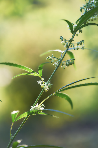 Selective Focus「ヘンプ (大麻) 植物の成長のクローズ アップ」:スマホ壁紙(2)