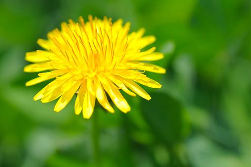 たんぽぽ「Close up of dandelion, differential focus」:スマホ壁紙(8)