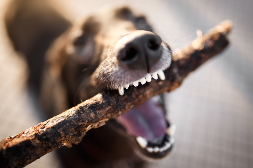 Buenos Aires「Close up of a dog biting a stick」:スマホ壁紙(18)