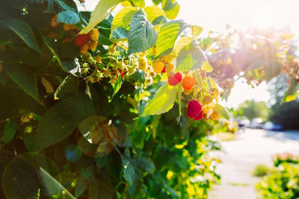 Close up of raspberries growing on leafy vines:スマホ壁紙(壁紙.com)