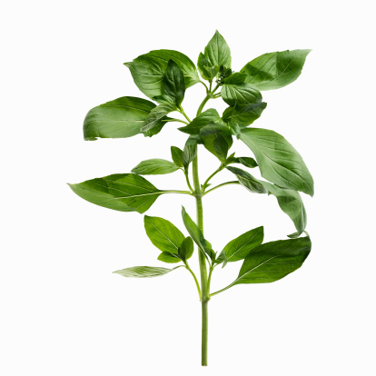 Basil「Close up of sprig of herbs」:スマホ壁紙(13)