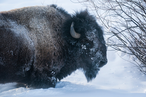 Mammoth Hot Springs「Close up of a bison in Lamar Valley, Yellowstone」:スマホ壁紙(16)