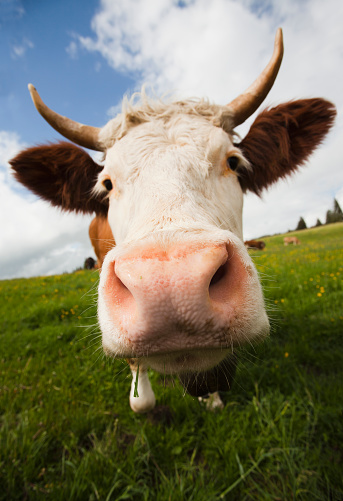 Horned「Close up of cow in field」:スマホ壁紙(2)