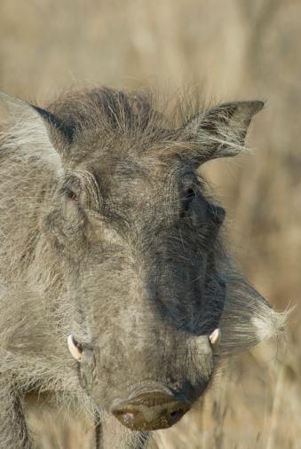 Boar「Close up of wild warthog」:スマホ壁紙(5)