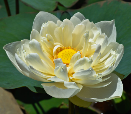 Water Lily「Close up of white lotus flower」:スマホ壁紙(18)