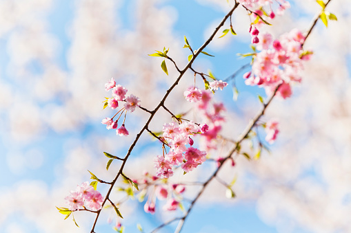 Cherry Blossom「Close Up of Fresh Pink Cherry Blossom in the Moring」:スマホ壁紙(0)