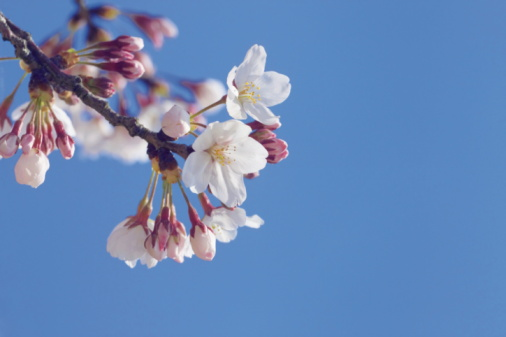 Cherry Blossom「Close up of cherry blossoms」:スマホ壁紙(12)