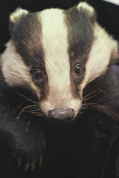 Badger:ニュース(壁紙.com)