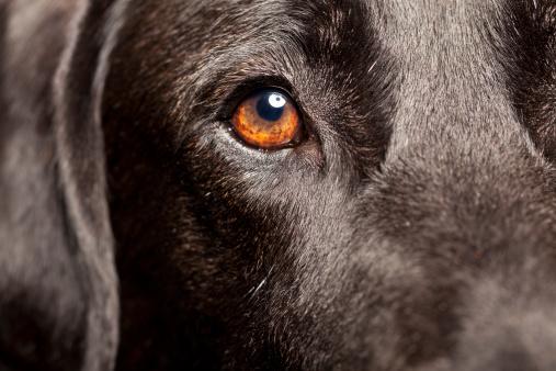 Animal Hair「Close Up of a Black Labrador」:スマホ壁紙(18)