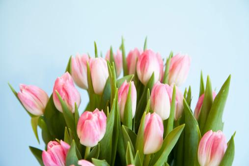 チューリップ「クローズアップピンクのチューリップとホワイト」:スマホ壁紙(14)