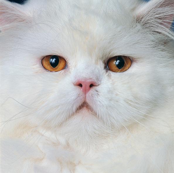 Purebred Cat「White Persian」:写真・画像(13)[壁紙.com]
