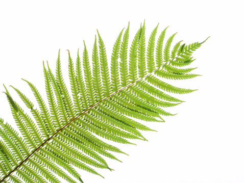 Uncultivated「Close up of a green fern leaf against white background」:スマホ壁紙(11)