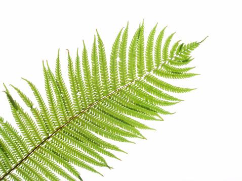 Fern「Close up of a green fern leaf against white background」:スマホ壁紙(14)