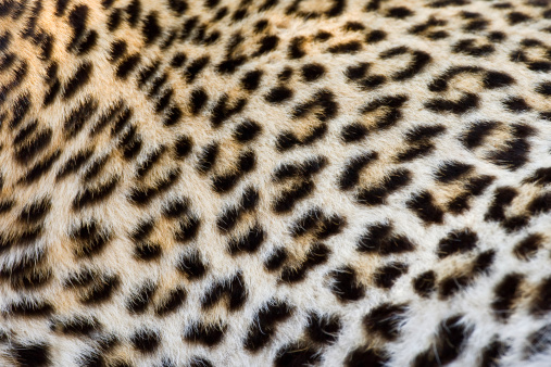 Animal Hair「Close up of Leopard, Greater Kruger National Park, South Africa」:スマホ壁紙(17)