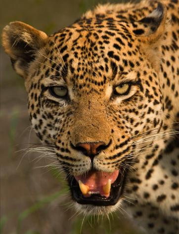 Furious「Close up of Leopard, Greater Kruger National Park, South Africa」:スマホ壁紙(11)