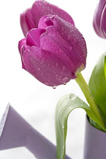 花「A close up of a pruple tulip with water drops.」:スマホ壁紙(9)