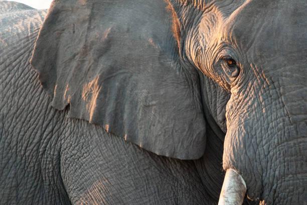 Close up of elephant:スマホ壁紙(壁紙.com)