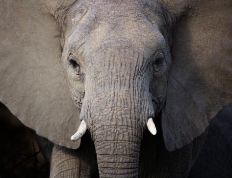 Females「Close up of elephant」:スマホ壁紙(1)