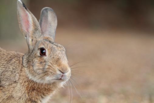 うさぎ「Close Up of Rabbit」:スマホ壁紙(1)