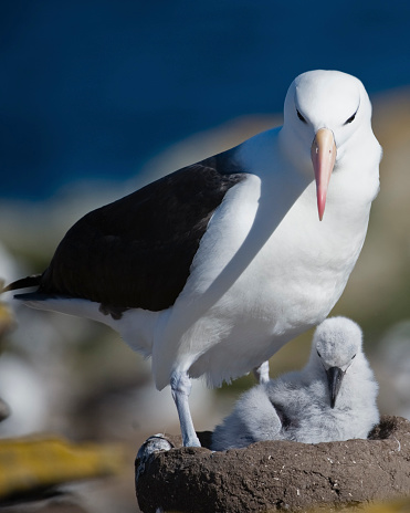 フォークランド諸島「Close up of Black Browed Albatross (Thalassarche Melanophrys)with chick in nest, Falkland Islands」:スマホ壁紙(1)