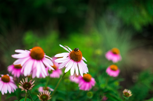 Gardening「Close up of bumble bee pollinating pink echinacea flowers in the meadow」:スマホ壁紙(15)