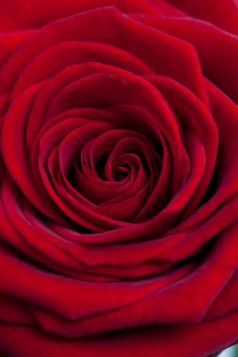花「Close up of red rose」:スマホ壁紙(19)