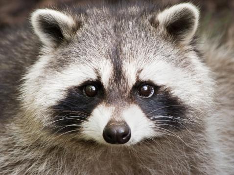 Raccoon「アライグマクローズアップ」:スマホ壁紙(1)
