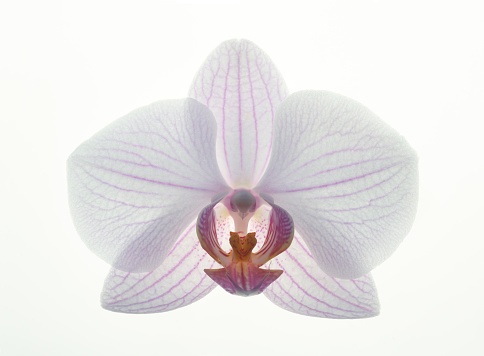 Flower Head「Close up of pink and white phalaenopsis orchid.」:スマホ壁紙(11)