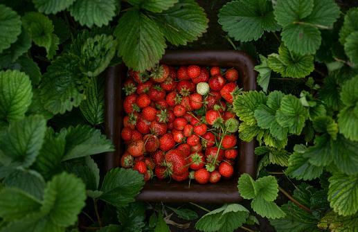 Harvesting「Close up of strawberries in basket」:スマホ壁紙(12)