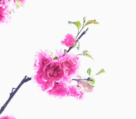 Cherry Blossoms「Close Up of Brightly Color Cherry Blossoms」:スマホ壁紙(18)