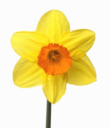 水仙「Close up of yellow daffodil with orange trumpet」:スマホ壁紙(11)