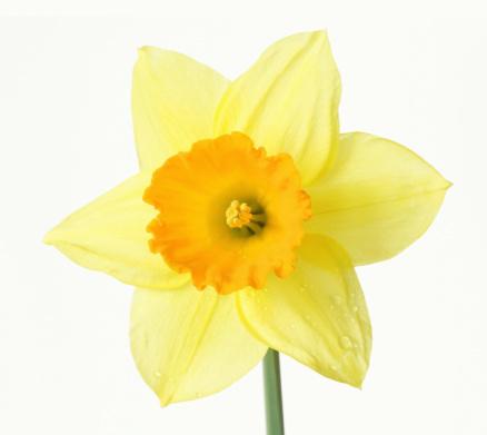 水仙「Close up of yellow daffodil with orange trumpet, on white background」:スマホ壁紙(18)