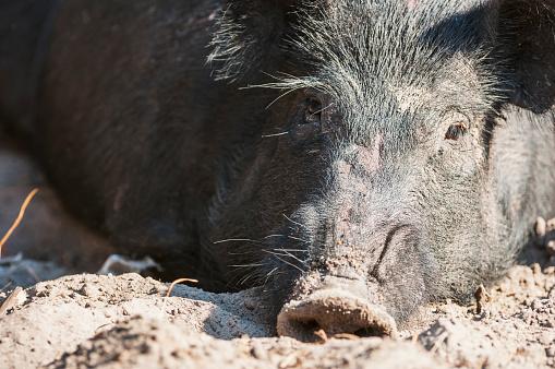 Boar「Close up of a wild hog」:スマホ壁紙(18)