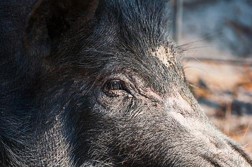 猪「Close up of a wild hog」:スマホ壁紙(19)