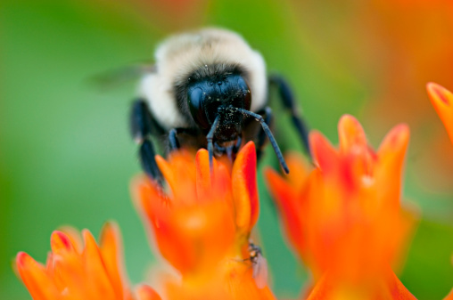 The Nature Conservancy「Close up of Bumblebee (Bombus bimaculatus) on Butterfly Weed, Tall Grass Prairie, Chi Waukee Prairie, Nature Conservancy, Wisconsin, USA」:スマホ壁紙(7)