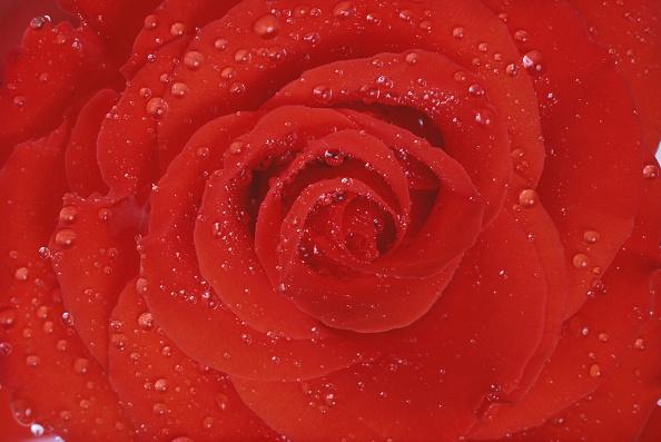 Petal「Red Rose」:写真・画像(17)[壁紙.com]