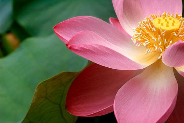 A close up of a Macro Lotus flower:スマホ壁紙(壁紙.com)