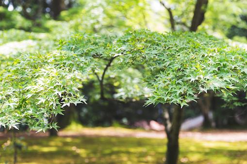 Japan「トライデントのカエデの木からのクローズ アップ」:スマホ壁紙(10)