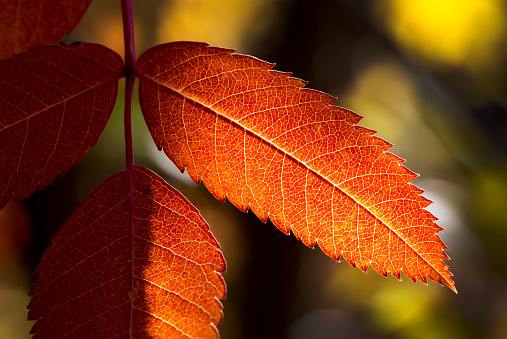 Rowan Tree「Close up of colourful mountain ash leaves in autumn back lit by the sun」:スマホ壁紙(11)