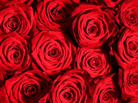 flower「赤いバラの花のクローズアップ」:スマホ壁紙(17)