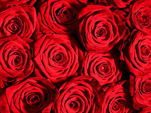赤いバラの花のクローズアップ:スマホ壁紙(壁紙.com)