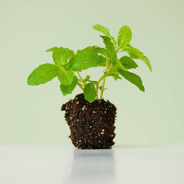 Close up of mint seedling, studio shot:スマホ壁紙(壁紙.com)