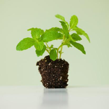 Planting「Close up of mint seedling, studio shot」:スマホ壁紙(0)
